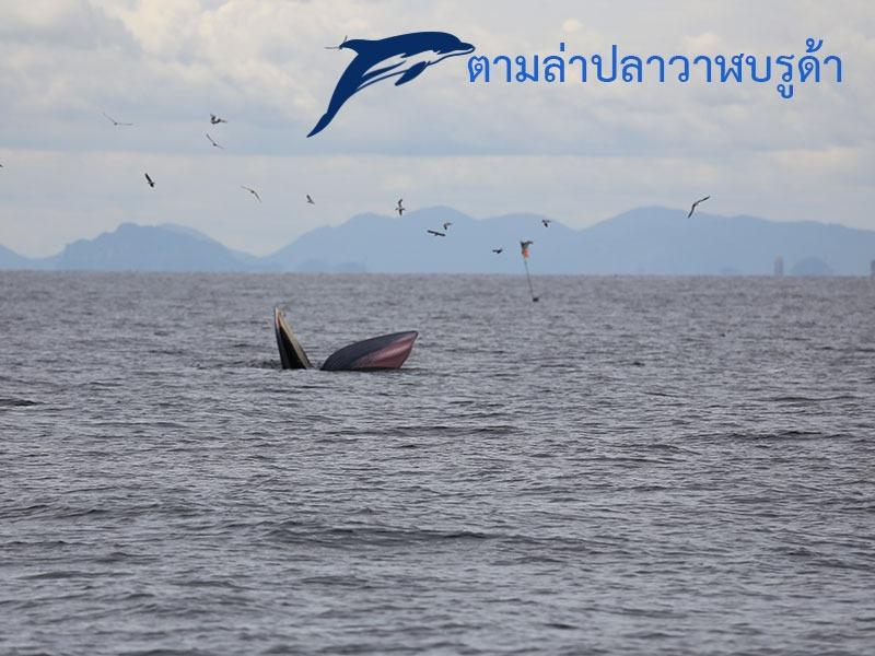 ตามล่าปลาวาฬบรูด้า
