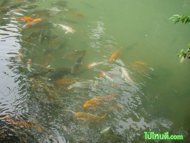 ปลาที่ทางวัดเลี้ยงนอกถ้ำ