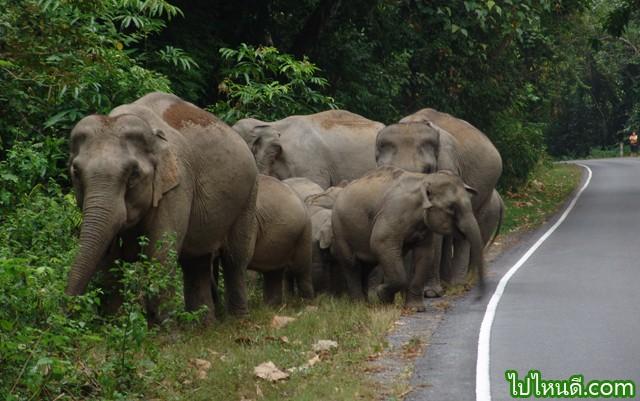 อุทยานแห่งชาติเขาใหญ่เป็นแหล่งที่มีสัตว์ป่าชุกชุมมาก ในบางโอกาสขณะขับรถยนต์ไปตามถนน จะสามารถเห็นสัตว์ป่าเดินผ่านหรือออกหากินตามทุ่งหญ้า หรืออาจจะเห็นโขลงช้างออกหากินริมถนน ลูกช้างเล็กๆ ซนและน่ารักมาก บริเวณตั้งแต่ที่ชมวิวกิโลเมตรที่ 30 จนถึงปากทางเข้าหนองผักชี ตลอดจนโป่งต้นไทร  ในปัจจุบันถ้าขับรถยนต์ขึ้นเขาใหญ่ทางด่านตรวจเนินหอมข้ามสะพานคลองสามสิบไปแล้ว สามารถเห็นโขลงช้างได้เหมือนกัน โดยเฉพาะในตอนกลางคืนจากการศึกษาตามโครงการการอนุรักษ์ช้างป่า และการจัดการพื้นที่ป้องกัน (ELEPHANT CONSERVATION AND PROTECTED AREA MANAGMENT) โดย MR. ROBERT J. DOBIAS ภายใต้ความร่วมมือของ WWF และ IUCN ในปี พ.ศ.2527-2528 พบว่า มีจำนวนประมาณ 250 เชือก