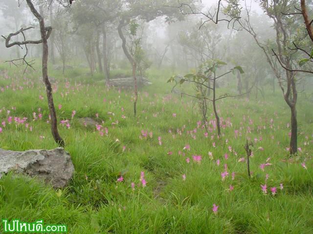 ทุ่งดอกกระเจียวสีแดง ที่ อช.ป่าหินงาม จ.ชัยภูมิ