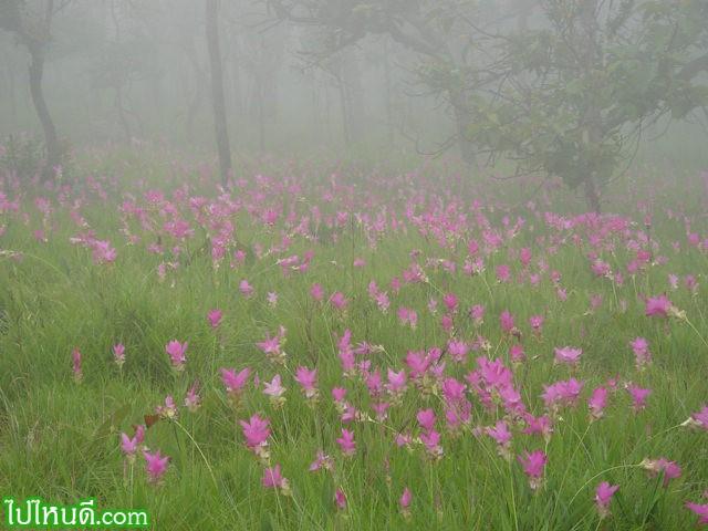 กระเจียวเป็นพืชล้มลุกประเภทหัว เป็นพันธุ์ไม้ประจำถิ่นที่ขึ้นมากที่สุดในประเทศไทย ณ ที่แห่งนี้ ปกติจะพบขึ้นกระจายทั่วไป ตั้งแต่ลานหินงามจนถึงจุดชมวิวสุดแผ่นดิน 1 กิโลเมตร ดอกกระเจียวจะขึ้นและบานเป็นสีชมพูอมม่วงในช่วงต้นฤดูฝนเท่านั้น คือเดือนมิถุนายน-สิงหาคมของทุกปี ดอกกระเจียว กระเจียวบัว ปทุมมาหรือบัวสวรรค์ เป็นชื่อที่ชาวบ้านเรียกกันติดปาก เป็นพันธุ์ไม้ประจำถิ่น ที่ขึ้นมากที่สุดในประเทศไทยที่อุทยานฯแห่งนี้ ปกติจะขึ้นปะปนกับหญ้าเพ็ก ซึ่งเป็นไม้พื้นล่างของป่าเต็งรัง หรือป่าโคกที่มีต้นไม้ใหญ่ขึ้นห่าง ๆ สลับกับหิน ส่วนใหญ่จะมีไม้เหียงเป็นไม้เด่นกระจายอยู่ทั่วไป ตั้งแต่ลานหินงามจนถึงจุดชมวิว