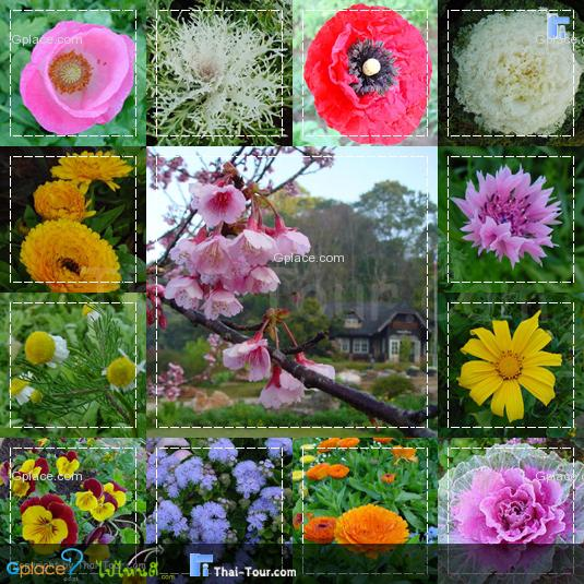 ตั้งแต่เดือนตุลาคม–กุมภาพันธ์ อากาศหนาวเย็นจัด และดอกไม้ดอกนานาชนิดออกดออกสวยงามสะพรั่งไปทั้งดอย เป็นช่วงที่เหมาะสมที่สุดสำหรับการเที่ยวชมดอกไม้และพันธุ์พืชเมืองหนาว ---------------------------------- ภาพดอกไม้เมืองหนาว ในสวน 80
