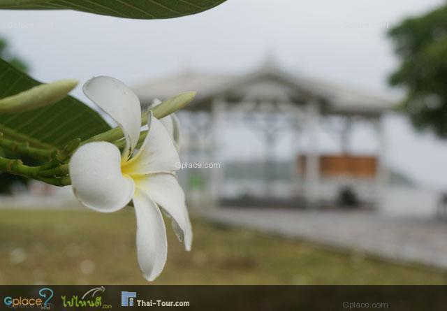 ดอกลั่นทม...แทบจะเป็นสัญลักษณ์ของเกาะสีชังไปแล้ว