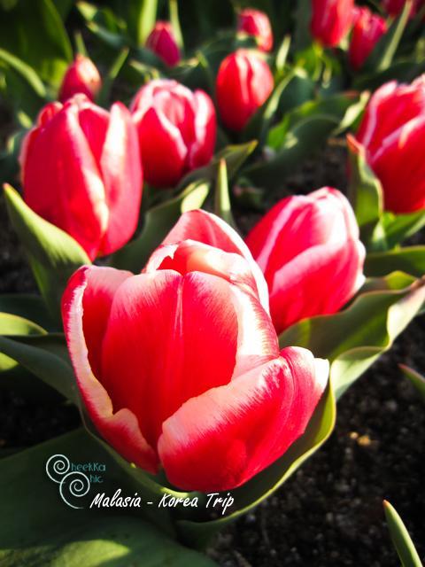 ดอกทิวลิปแบบสีผสม สวยไปอีกแบบค่ะ