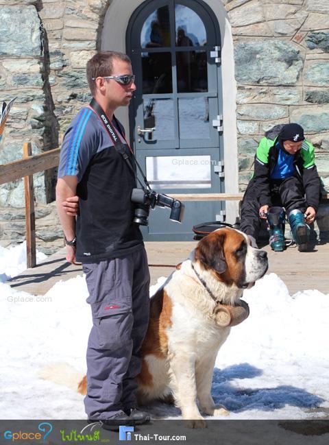 เซนต์เบอร์นาร์ด St.Bernhard หรือ Bernhardiner สุนัขพันธุ์ผสมขึ้นชื่อของสวิส โดยเฉพาะที่ เซอร์แมทที่นี่  เซนต์เบอร์นาร์ดมีนิสัยเชื่อง ใจเย็น จมูกไว ความจำดี ทนต่ออากาหนาว จึงนิยมนำมาฝึกเพื่อช่วยเหลือคนในภูมิประเทศแบบนี้