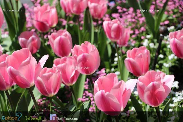 ทักทายด้วยดอกไม้สวยๆ ทิวลิป หน้าสถานีรถไฟ