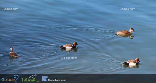 ธรรมชาติริมทะเลสาป ฝุงนกเป็ดน้ำ