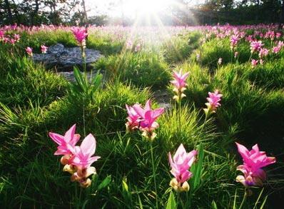 เทศกาลท่องเที่ยวดอกกระเจียวงามปี2557