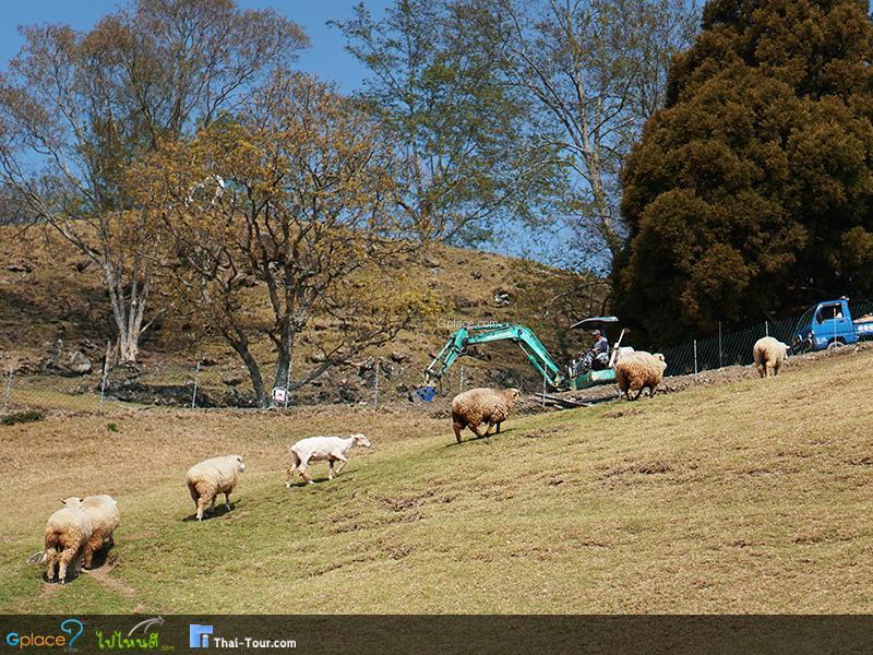 ฟาร์มแกะซิงจิ้งฟาร์ม  QingJing Farm