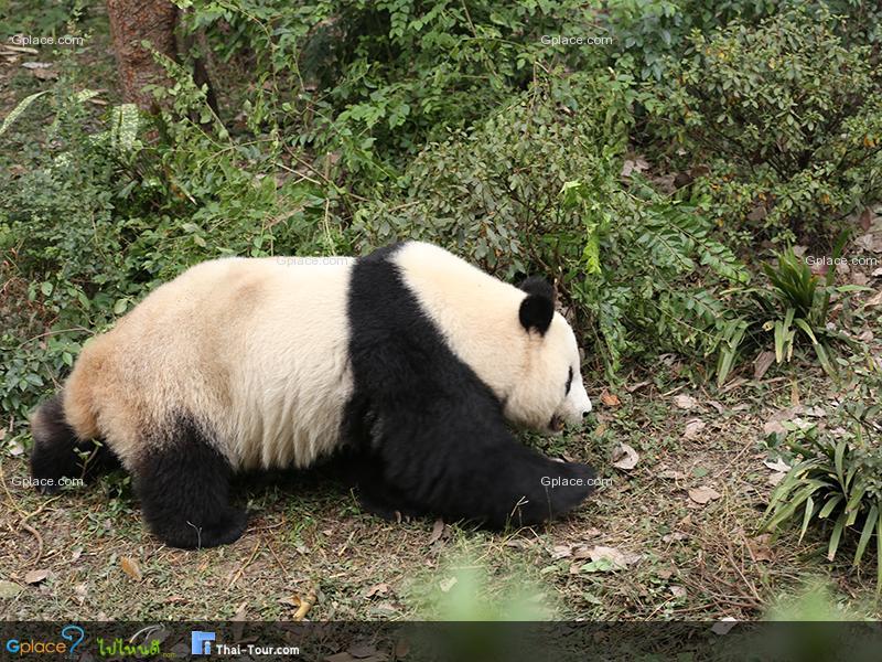 ศูนย์อนุรักษ์ หมีแพนด้ายักษ์