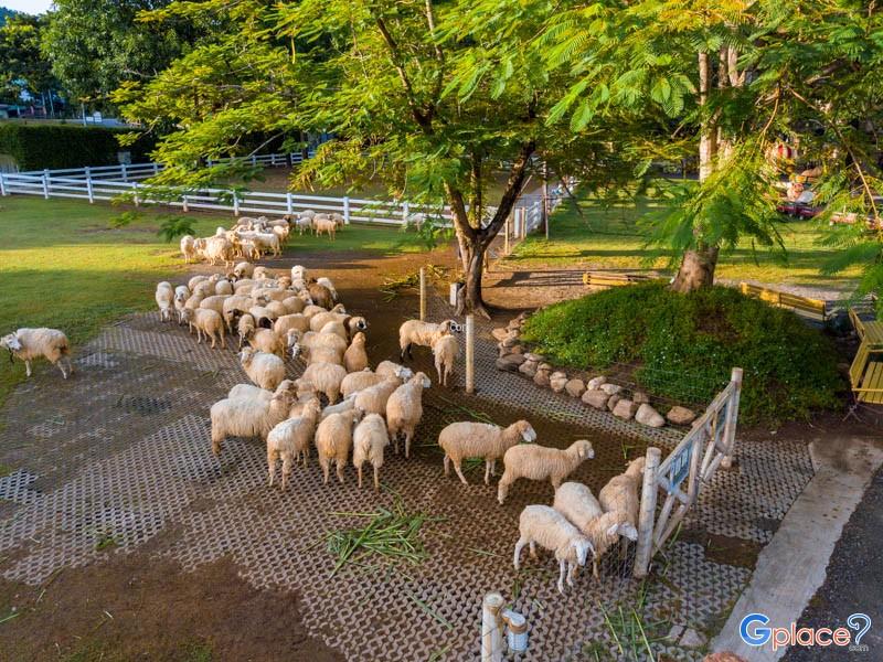 ฟาร์มแกะ น่าชม เมืองไทย