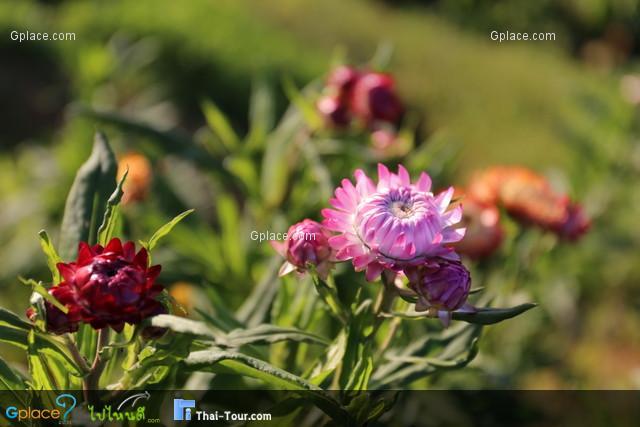 ดอกไม้ที่ภูทับเบิก