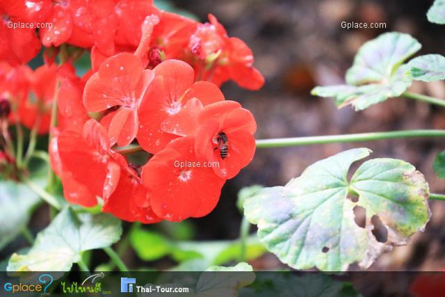 ดอกอาบูติล่อน สีแดง