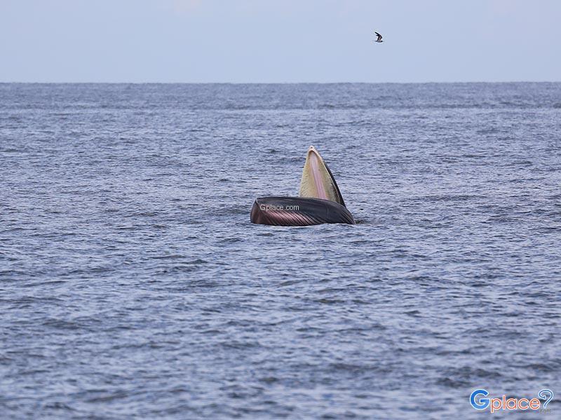 แหลมผักเบี้ย วาฬบรูด้า