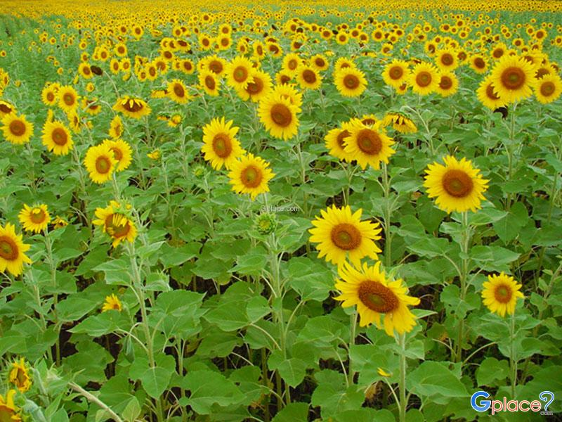 Sunflower Field Lop Buri