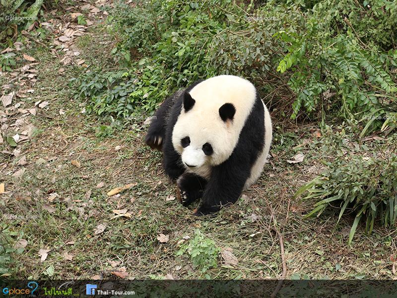 大熊猫 保护中心