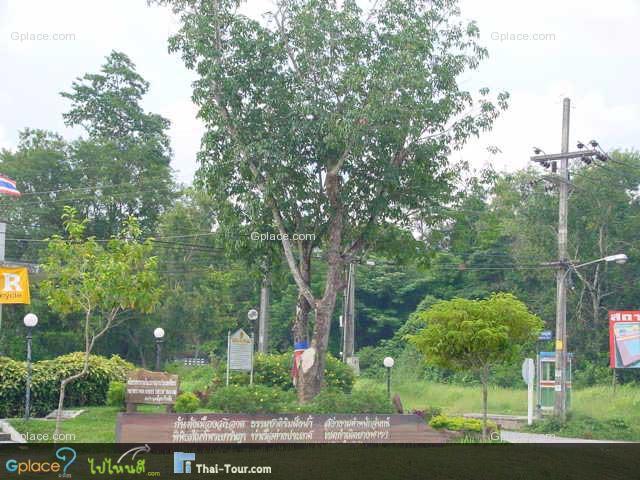 ยางพาราต้นแรกของประเทศไทย