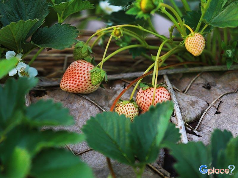 Doi Ang Khang Strawberry Farm