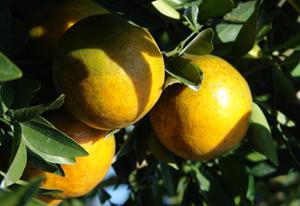 ส้มสยามภูเรือ