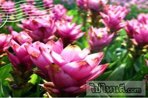 งานเทศกาลท่องเที่ยวดอกกระเจียวงาม